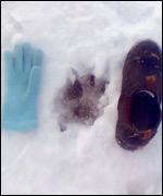 Paw print in snow, possibly a big predatory cat
