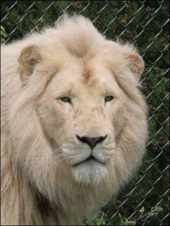 Brownwood Lion Football. georgia lion
