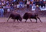 Photo of bullfight near Trabzon in Turkey