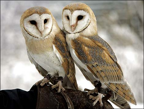 http://www.bbc.co.uk/insideout/content/images/2007/10/01/barn_owl_ap_3_470x357.jpg