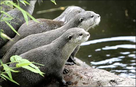 otters_getty470_470x303.jpg