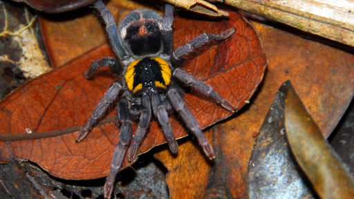 biggest spider in the world real image search results