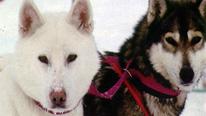 Husky dogs © BBC FINLAND KEMI