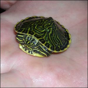 terrapins as they are easier to keep, are happy living in cold water ...