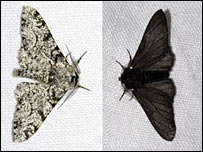 The peppered moth: [photo: Olaf Leillinger]