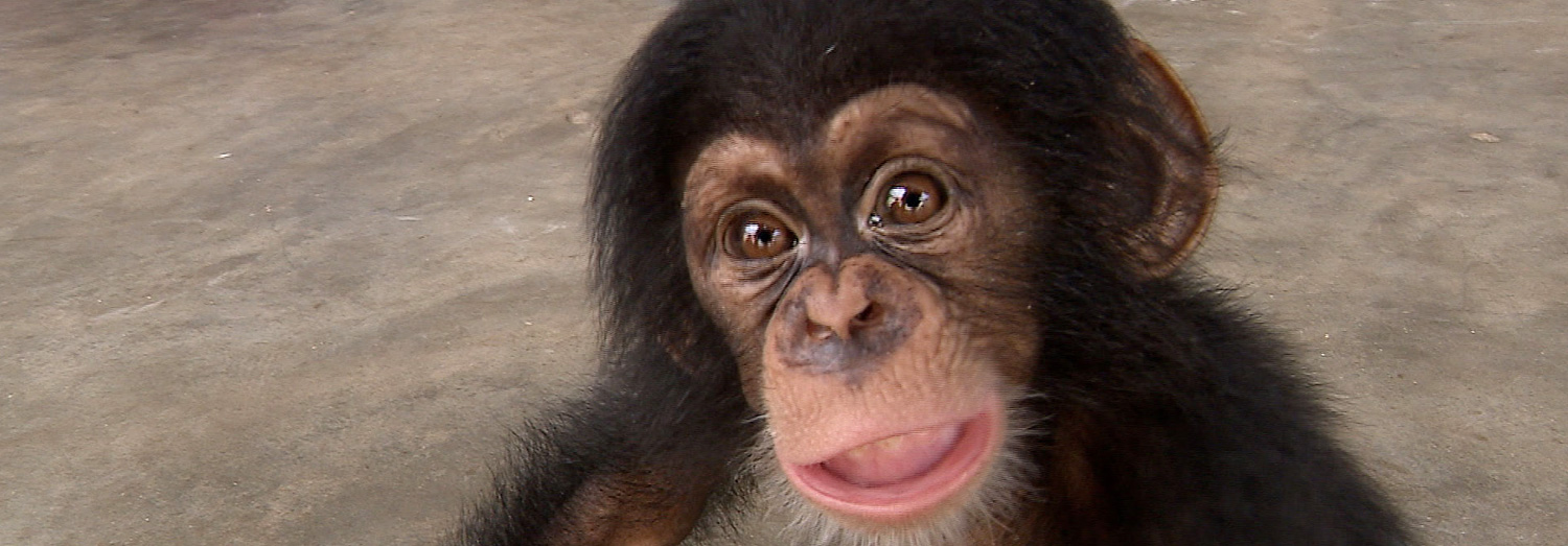 A two-month old chimp, held captive by smugglers