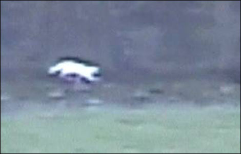 The first Big Cat sighting in the UK was the 'Surrey Puma',