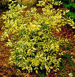 Plantas para zona continental (Guadalajara) Eleagnus-pungus
