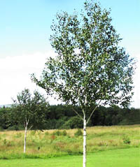 Bbc northern ireland gardeners corner terrific trees for Silver birch trees for small gardens