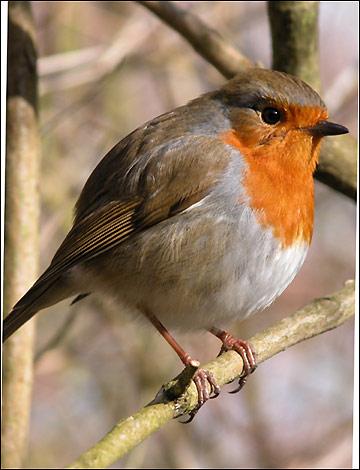 Robin (bird) and Robin (Hood)