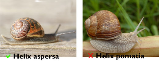 Two snails. On the left Helix aspersa, on the right Helix pomatia. This file is licensed under the Creative Commons Attribution ShareAlike 3.0 License.