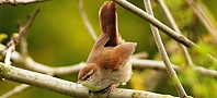 Cetti's Warbler, copyright owned by RSPB.
