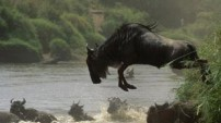 Leaping Wildebeast from the Nature Picture Library