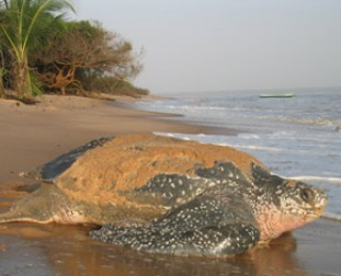 Leatherback Turtle by the University of New Hampshire