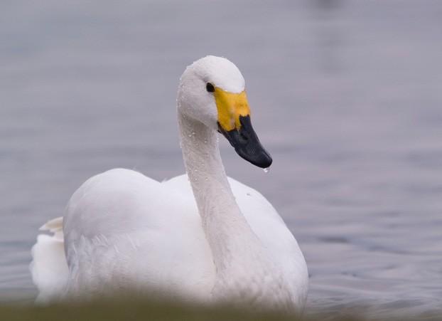 Bewick s swan by richard taylor jones