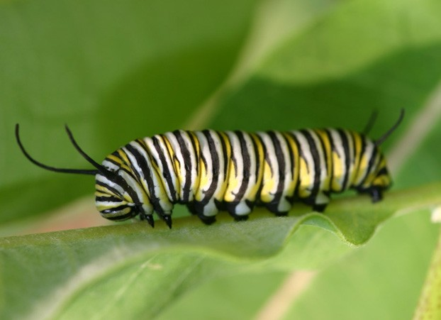 Monarch Caterpillar by Karen Oberhauser