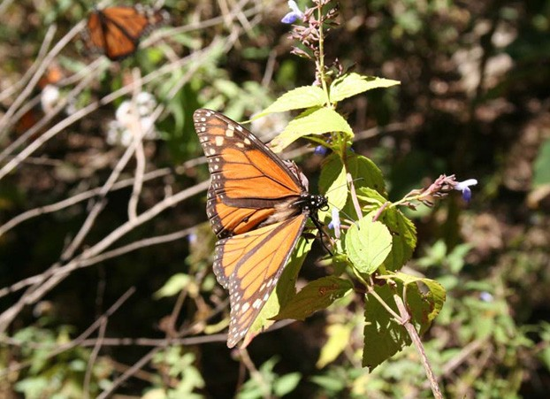 Monarch Butterfly in Cincua, Mexico