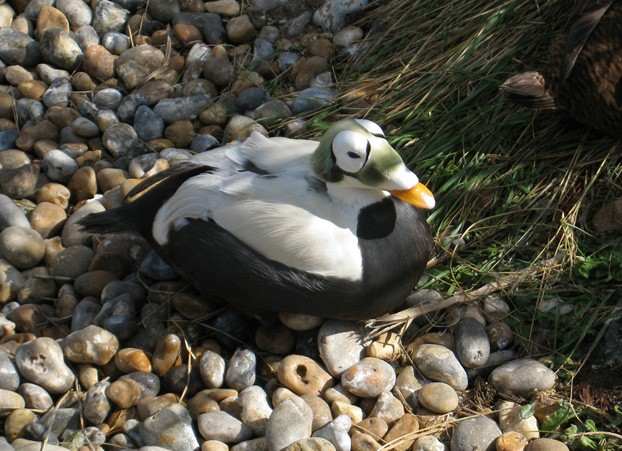 free downloading pics of eider wiki