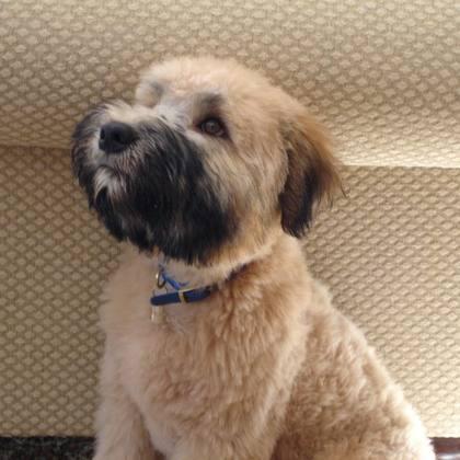 soft coated wheaten terrier haircut wheaten terrier wheaten terrier haircut styles search results