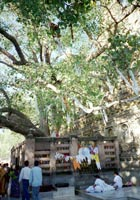 Tall tree with flags decorating its branches. Visitors walk past and Buddhists sit in the louts position beneath it