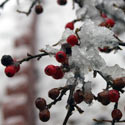 Frost on berries