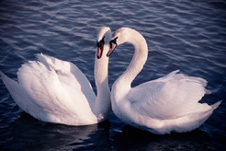 poetry commentary the wild swans at The wild swans at coole by yeats: summary, poem analysis & theme easter, 1916 by yeats: summary & poem analysis related study materials.