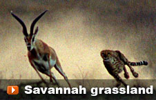 Watch 'Savannah grassland' video