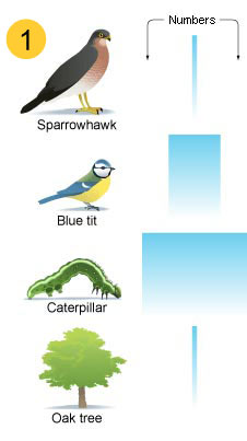 Shows a narrow bar representing few sparrowhawks. A slightly wider bar represents a bigger number of sparrows, and catapillars are represented by the widest bar, showing they have the highest number. At the bottom of the food chain is an oak tree, and as one oak tree can feed many caterpillars, only one is needed - represented by a thin bar again.
