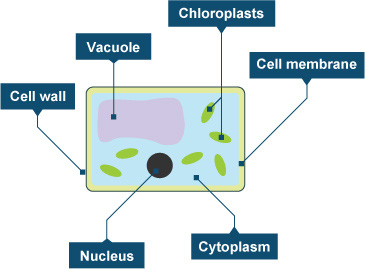 In Which Organelle Does Photosynthesis Occur?