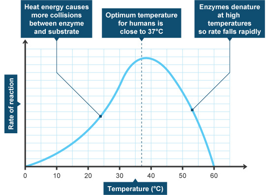 Biology enzyme and temperature prac