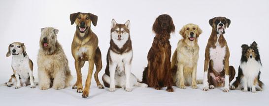 Selective Breeding Dogs