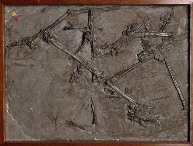 This is a fossil of a Dimorphodon, a large flying reptile.