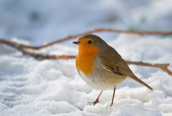 Bird standing in the snow in winter