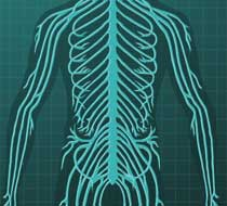 Bbc Home Human Body And Mind Peripheral Nervous System
