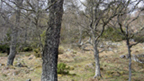 Native trees in the Caledonian Forest at Dundreggan.