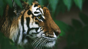 Nature: wildlife finder (tiger © getty images/panoramic images)