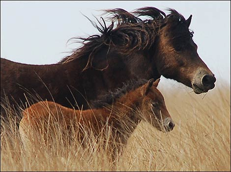 http://www.bbc.co.uk/somerset/content/images/2007/08/22/hawkwell_mare_and_foal_470_470x350.jpg