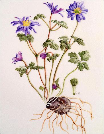 anemone blanda vtaylor 365x470