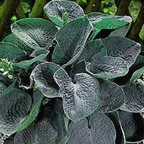 Hosta 'Big Daddy'