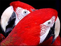 Pair of red parrots