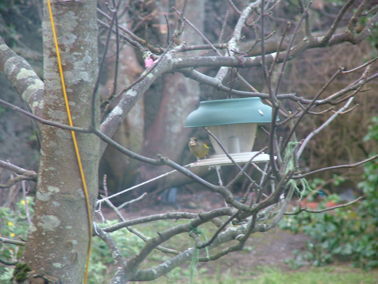 Greenfinch on feeder (look closely)