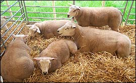 Sheep at New Forest Show 2004