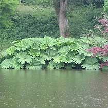 BBC Gardening Plant Finder Gunnera