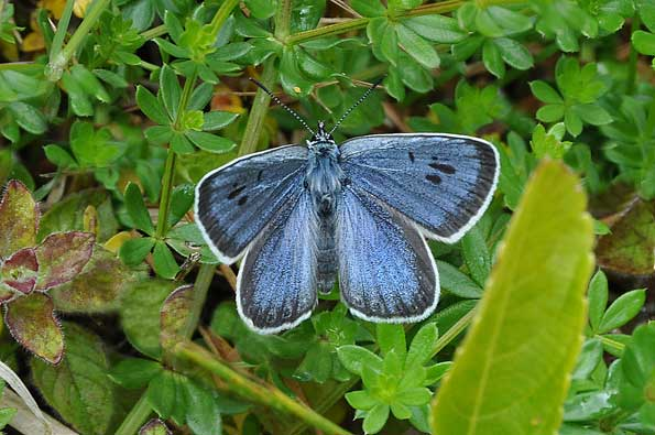 large blue butterfly by Tim Melling