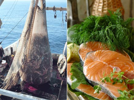 First half: Boat showing large catch of fish in net: Second half: Raw salmon on bed of herbs