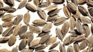 Espécie de arroz selvagem recentemente catalogado