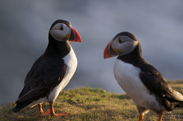 Puffins by Dan Rees