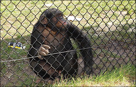 Rodders is a male chimpanzee and was born at the park in 2005.