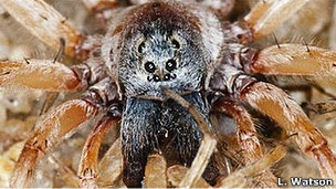 Araña Allacosa brasiliensis