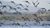 Brent Geese by Richard Taylor- Jones